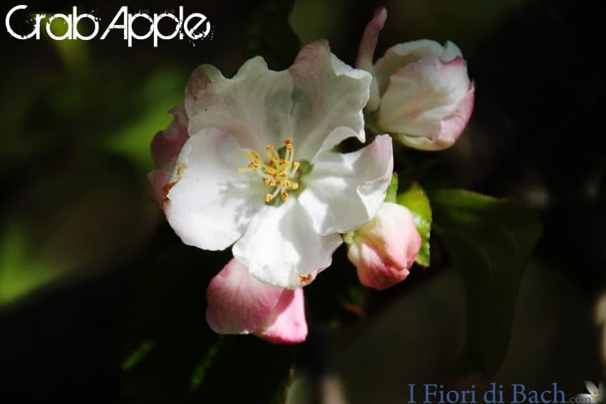 preparazione fiori bach crab apple