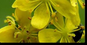 agrimony fiori di bach