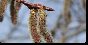 aspen fiori di bach