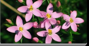 centaury fiori di Bach