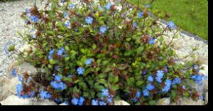 cerato fiori di Bach