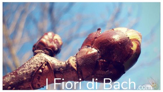 CHESTNUT BUD fiori di bach ed EFT: FAR PROPRIE LE LEZIONI CHE LA VITA CI PORTA