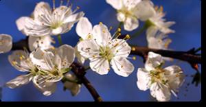 cherry plum fiori di Bach