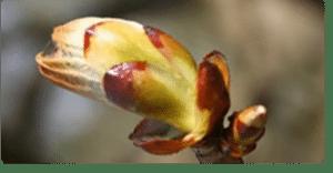 chestnut bud fiori di Bach