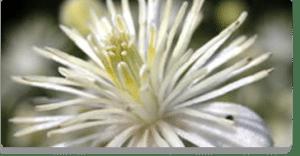 clematis fiori di Bach
