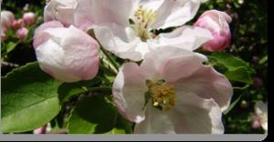crab apple fiori di Bach
