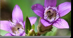 gentian fiori di Bach