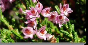 heather fiori di Bach