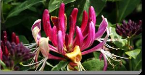 honeysuckle fiori di Bach