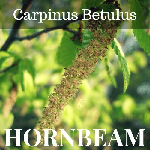 fiori di Bach Hornbeam