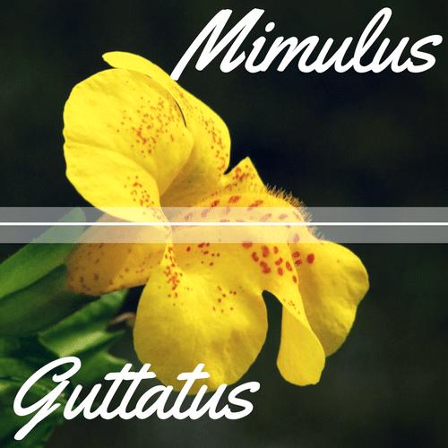 fiori di Bach Mimulus
