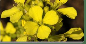 mustard fiori di Bach