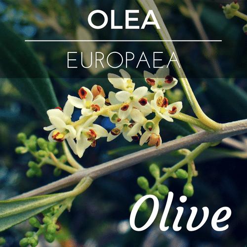 fiori di Bach Olive