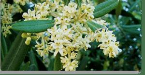 olive fiori di Bach