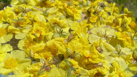 preparazione-fiori-di-bach-07
