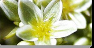 scleranthus fiori di Bach