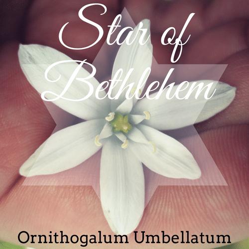 fiori di Bach Star of Bethlehem