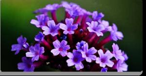 vervain fiori di Bach