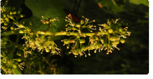 vine fiori di Bach