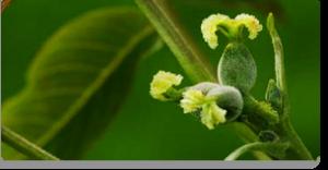 walnut fiori di Bach