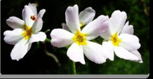 water violet fiori di Bach
