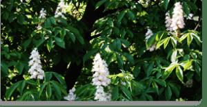 white chestnut fiori di Bach