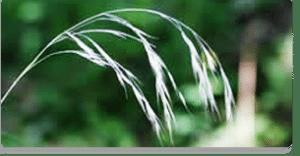 wild oat fiori di Bach