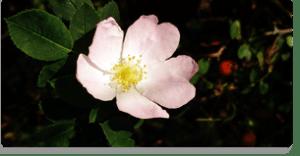 wild rose fiori di bach