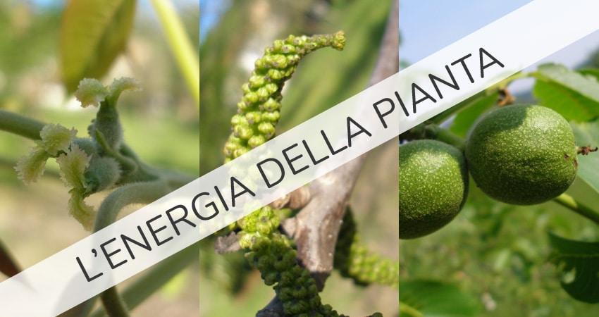 energia della pianta
