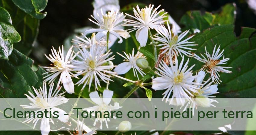 CLEMATIS fiori di Bach ed EFT: tornare con i piedi per terra