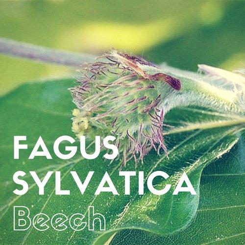 fiori di Bach Beech