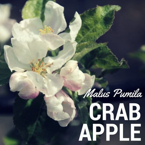 fiori di Bach Crab Apple