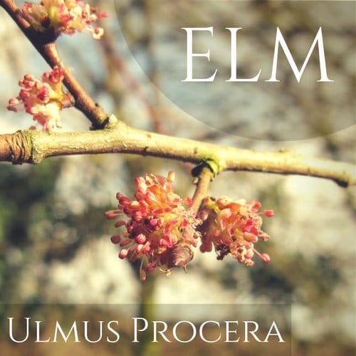 fiori di Bach Elm