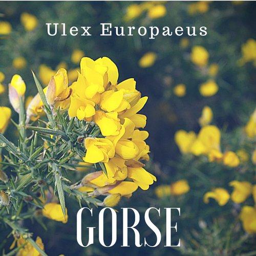 fiori di Bach Gorse