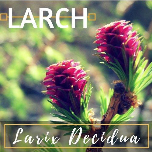 fiori di Bach Larch