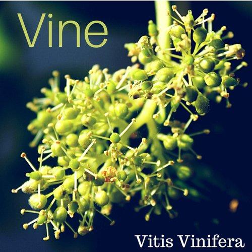 fiori di Bach Vine