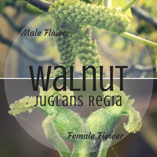 fiori di Bach Walnut